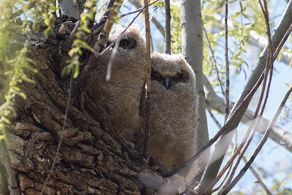 16 April: Great Horned Owl chicks