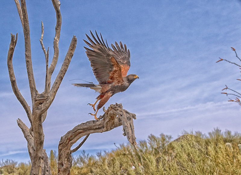 Harris's hawk at take off.