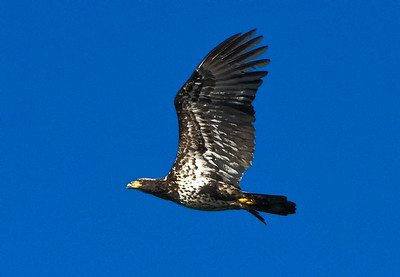 Immature Bald Eagle - 2nd year