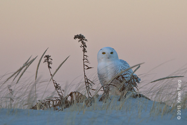 28 Dec: Snowy Owl at dusk