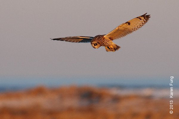 9 March: Short-eared Owl hunting at dusk