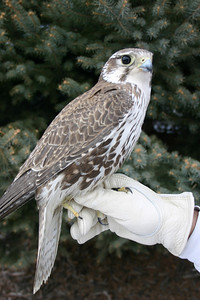 Prairie falcon on a gloved hand.  Photo by Scott Root, Utah Division of Wildlife Resources
