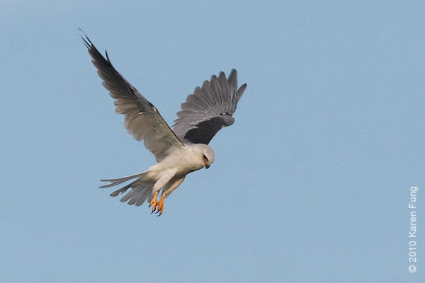 28 August: White-tailed Kite hovering