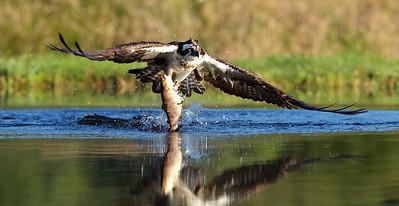 Osprey with fish