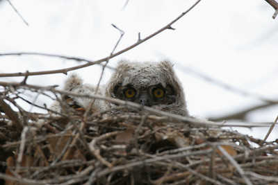 Great-horned owlets in their nest near Echo Reservoir.  Photo taken by Phil Douglass.