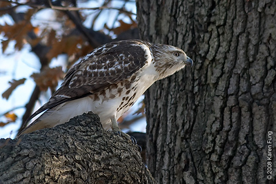 Dec 25th: Red-tailed Hawk in Central Park