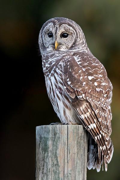 Barred Owl (Vertical)