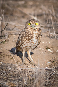 Burrowing Owl_Fairview Park-1088