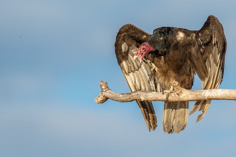 Turkey Vulture, Prince Edward Point National Wildlife Area, Ontario