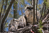 16 April: Great Horned Owl chicks