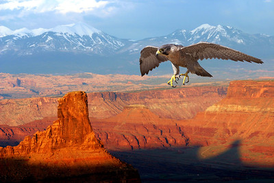 composite image of female peregrine falcon and red rocks near Moab, Utah