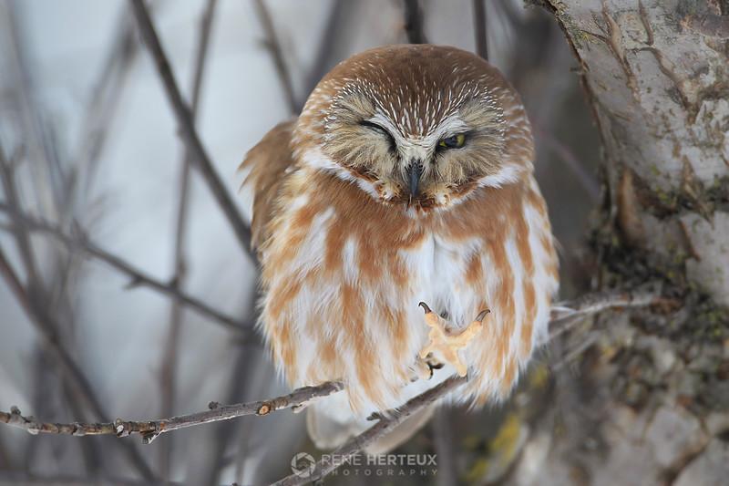 Sleepy northern saw whet owl
