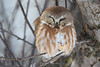 Sleepy northern saw whet owl