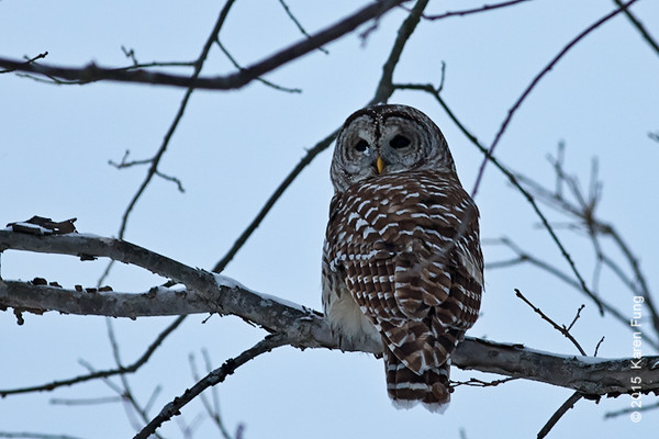 21 Feb: Barred Owl at dusk