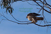 Red-Tailed Hawk3554