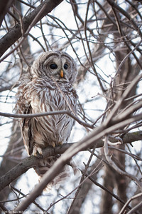 Barred Owl released at Lake Nokomis