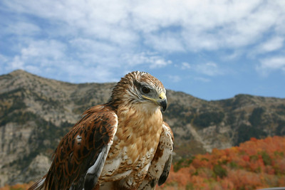 Perched ferruginous hawk with wings folded.  Photo by Scott Root, Utah Division of Wildlife Resources.