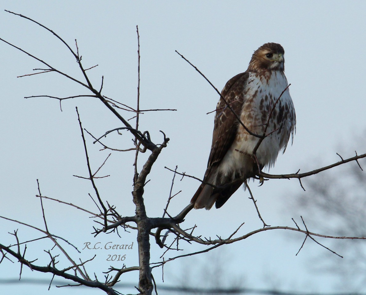 """Red Tail, observed at Town of Madison's """"Salt Meadow Park"""""""