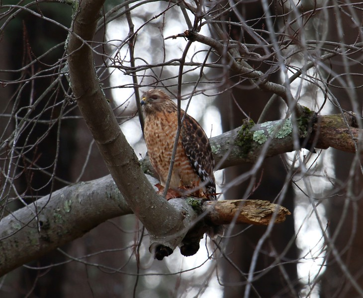 Red-Shouldered Hawk -Candlewood Hill Rd Haddam