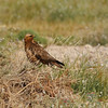 common(steppe) buzzard - ruddy morph<br /> עקב חורף מזרחי מופע חלודי