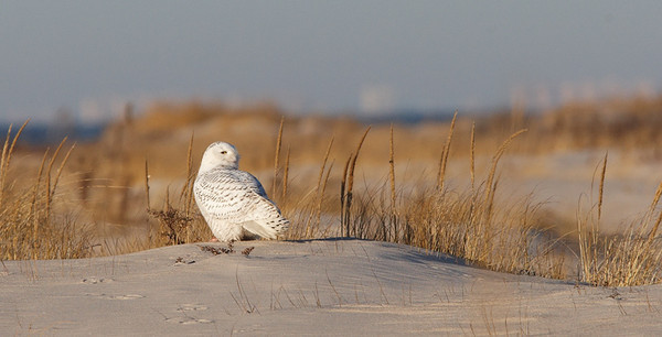 28 Dec: Snowy Owl, early AM