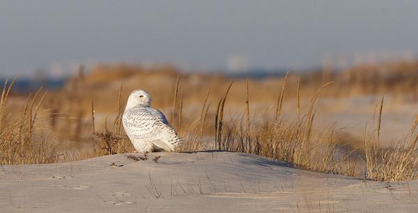 28 Dec: Snowy Owl, early AM