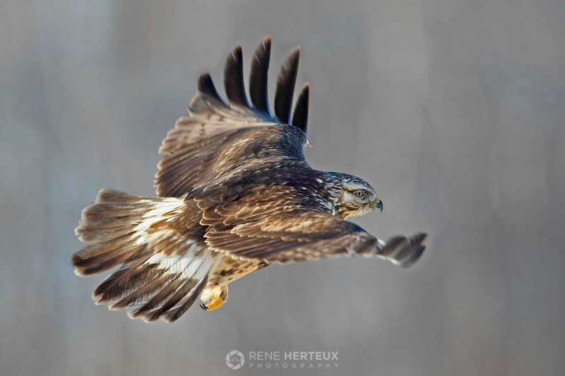 Rough legged hawk in flight