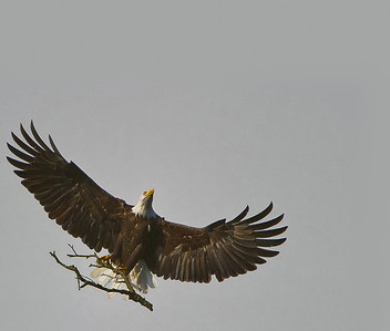 Bald Eagle with nesting material.