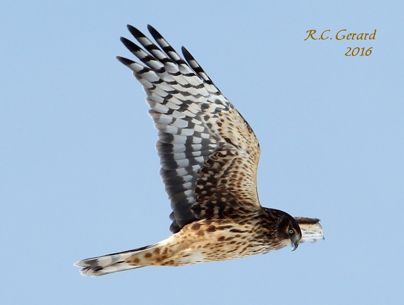 Northern Harrier over campgrounds