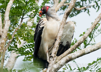 KING VULTURE, adult
