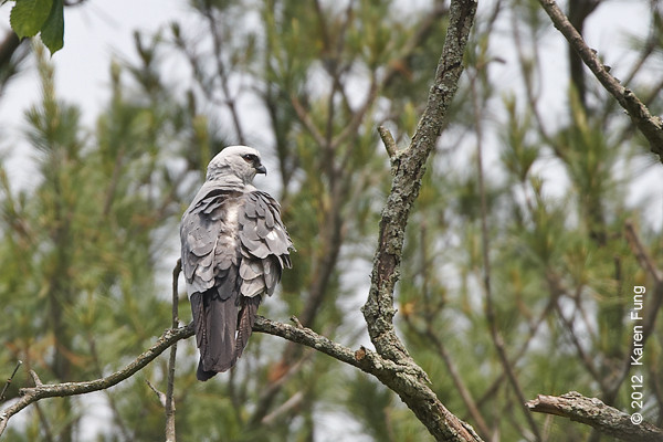 27 May: Mississippi Kite at Sterling Forest.  Cropped quite a bit.