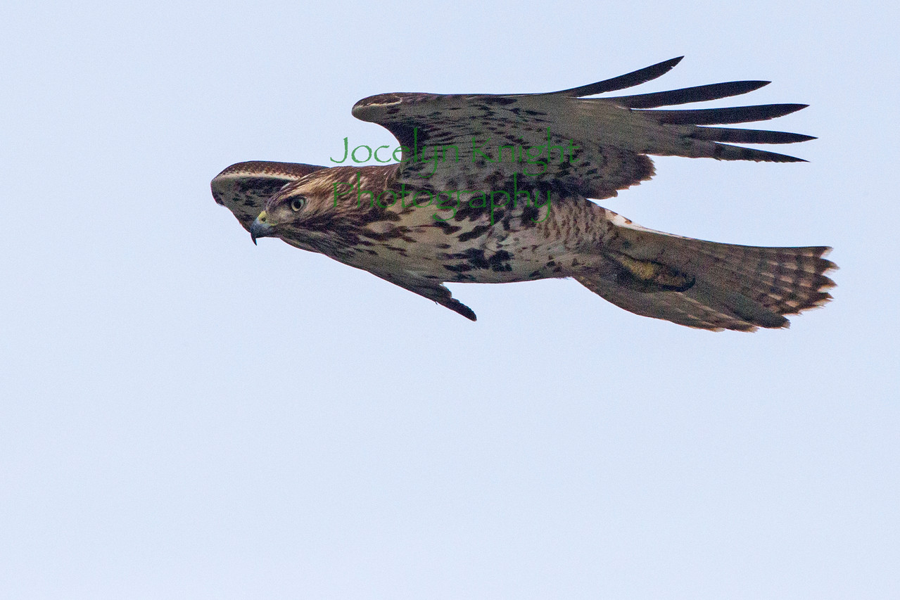 Red-Tailed Hawk8551