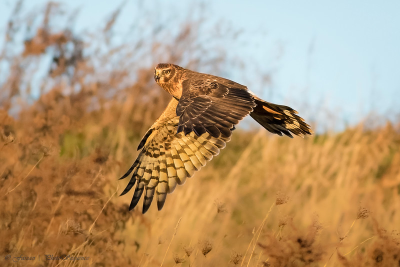 Northern Harrier (immature Male) at sunset