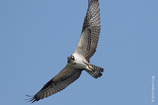30 Aug: Osprey at Jamaica Bay WR