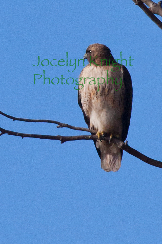 Red-Tailed Hawk3552