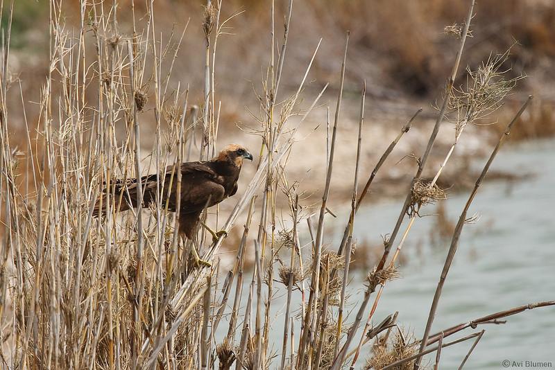 marsh harrier - female<br /> זרון סוף - נקבה