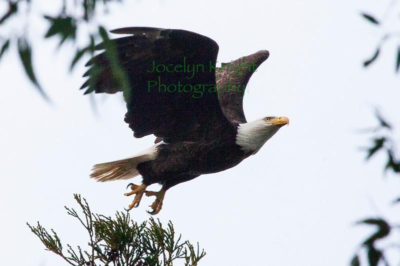 Eagle3078
