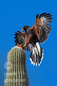 Harris' Hawk alights on Saguaro cactus