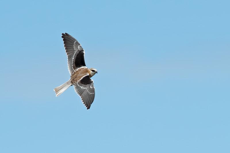Juvenile Black-shouldered Kite (Elanus axillaris)