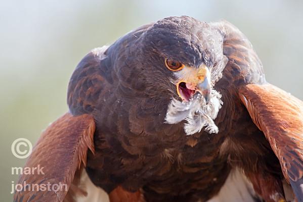 Harris Hawk feeds