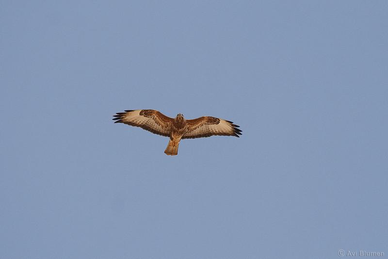 Common (step) buzzard  עקב חורף מזרחי<br /> On spring migration at the Negev desert<br /> צולם בנדידת האביב בהרי אילת