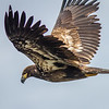 Bald Eagle, Patricia Bay Park, North Saanich, British Columbia