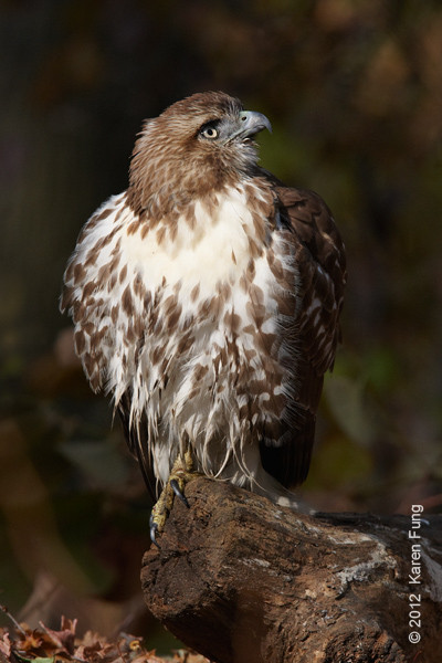 11 November: Red-tailed Hawk in Central Park