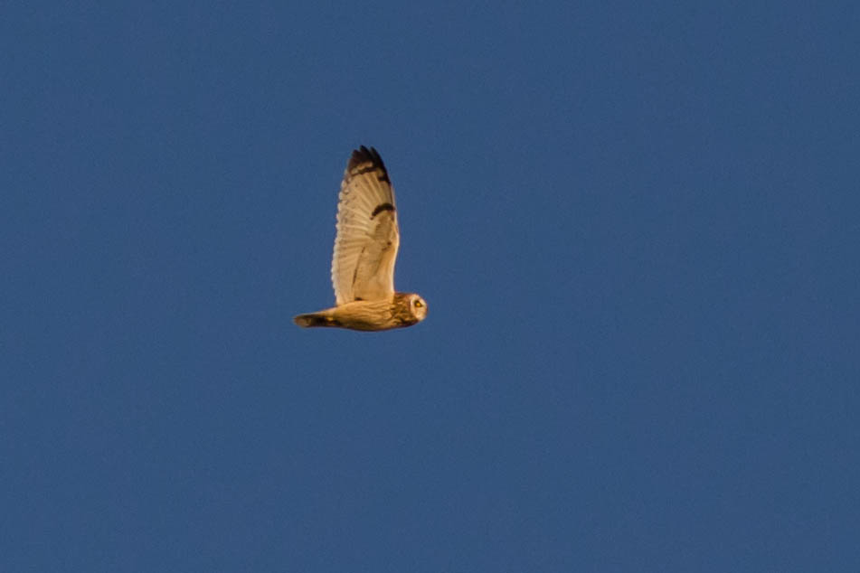 Short-eared Owl in San Francisco Bay November 10, 2012