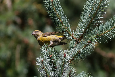 Red-crossbill, Tilden Regional Park September 11, 2012