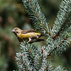 Red-crossbill, Tilden Regional Park<br /> September 11, 2012
