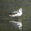 Red Phalarope, Albany Shoreline<br /> August 3, 2012