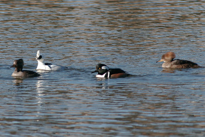 Smew with Hooded Mergansers Soulbyville, CA January 24, 2007