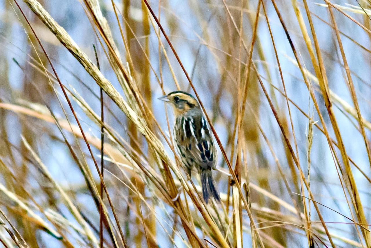 Nelson's Sparrow, Arrowhead Marsh January 20, 2012