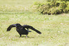 Raven lard preference test - first raven shows up.